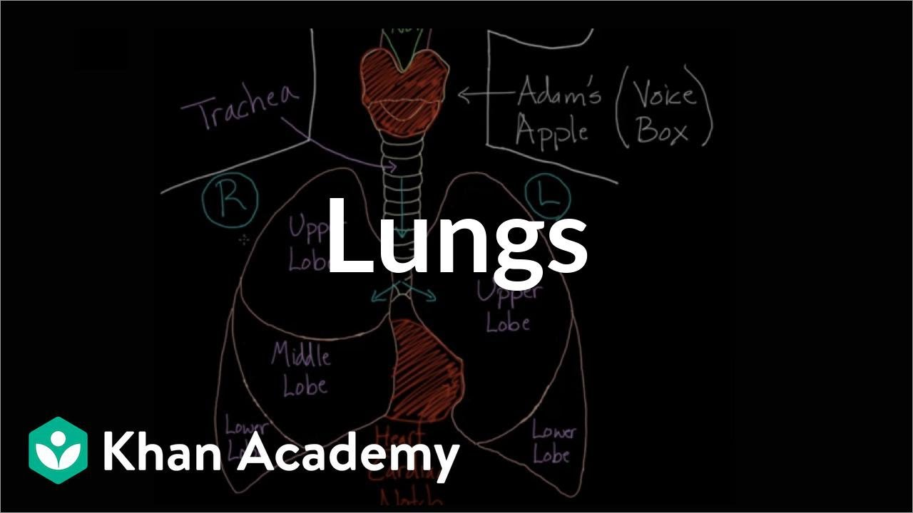 Meet the lungs (video) | Human body systems | Khan Academy