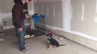 8-week Old German Shepherd Puppy's First Day Of Obedience Training (playing Tug)