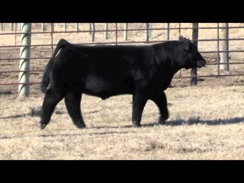 Fluffy Cows – Models of the Bovine World