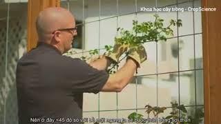 Hướng dẫn cách trồng Hoa Hồng leo, có phụ đề tiếng Việt