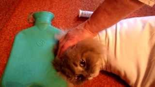 диабет у кота Diabetes in cats