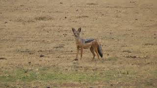 Chacal à chabraque (Canis mesomelas) - video © Nicolas Macaire