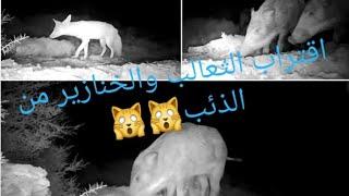 تصوير قطيع الخنازير 🐖والثعالب🦊قرب الذئب الصياد ابو اسحاق