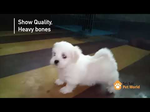 Lhasa Apso puppies 1 month old ready for his new home I Chandigarh I Jaladnhar I Pet Shop