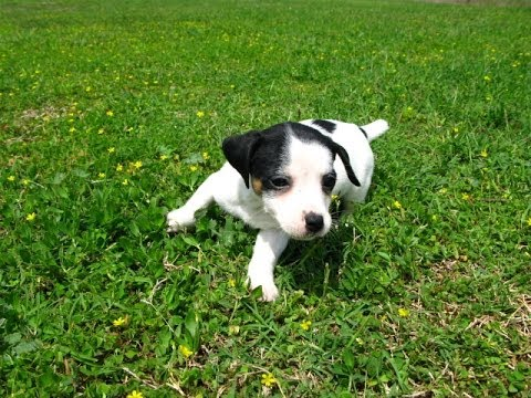 Jack Russell Puppies Dogs For Sale In Gulfport