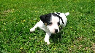 Jack Russell, Puppies, For, Sale, In, Jackson, Mississippi, Ms, Clinton, Pearl, Horn Lake