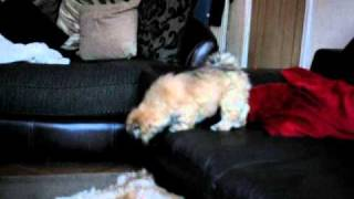 Lhasa Apso Playing With Cocker Spaniel