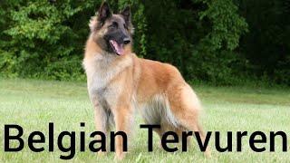 Belgian Tervuren,The Shepherd Dog