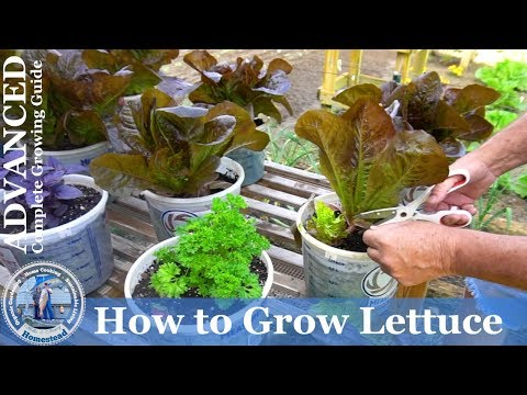 how to grow romaine lettuce seeds