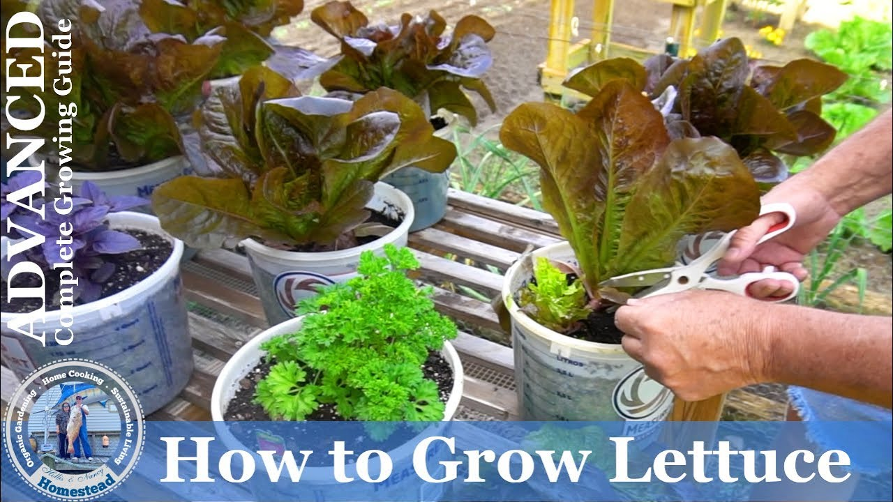 How To Grow Lettuce From Seed Advanced Complete Growing Guide