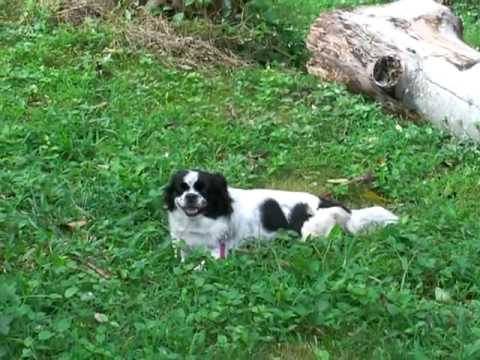 Tibetan Spaniel puppy at doggie boot camp