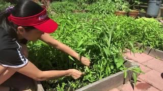 Cuộc sống New York : Thu hoạch rau muống, rau tần ô , rau má sau vườn nhà 🌱🌱🌱❤️