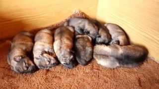 Щенки Хасковолка - Husky Wolfdogs Pups F2