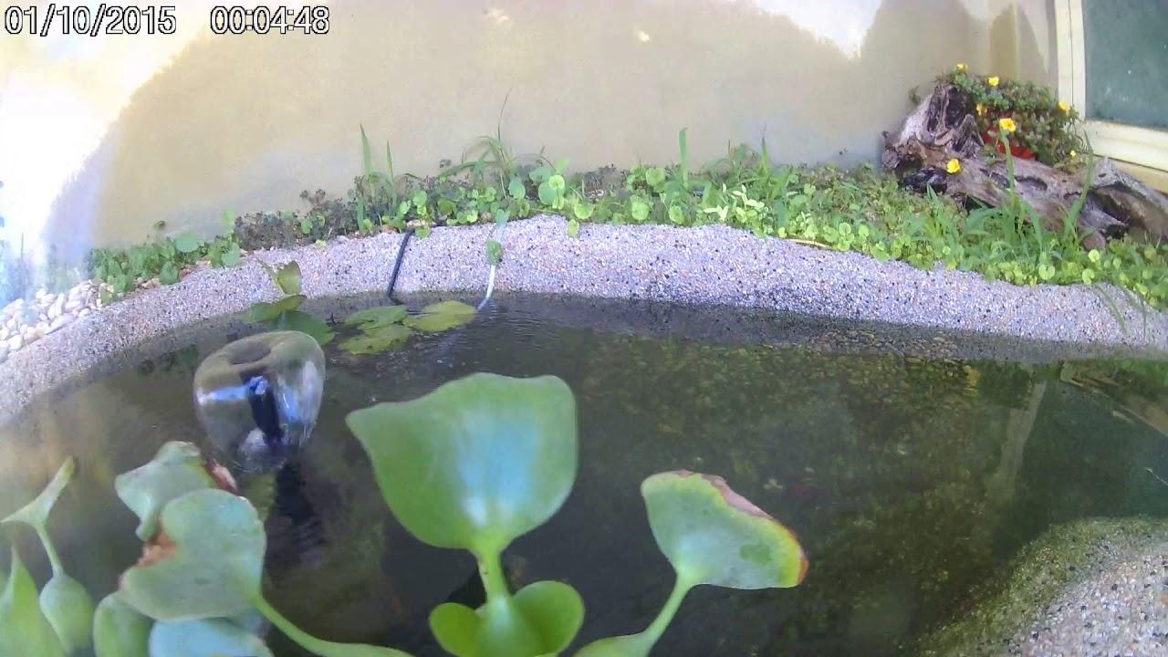 Laghetto tartarughe koi e pesci rossi youtube for Laghetto pesci rossi e tartarughe