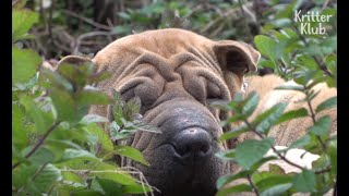 Shar Pei Dog Is Kicked Out By His Own Puppies (Part 1)   Kritter Klub