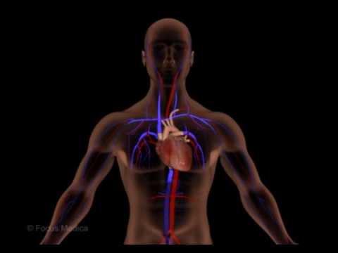 Unser Körper in 3D - Herz und Blutkreislauf - YouTube