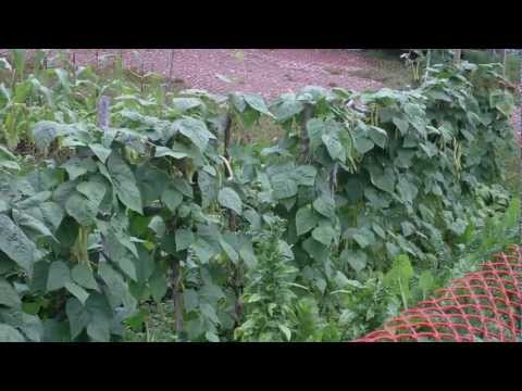 Building a climbing bean pole fence trellis completion with plant growth - Green Beans