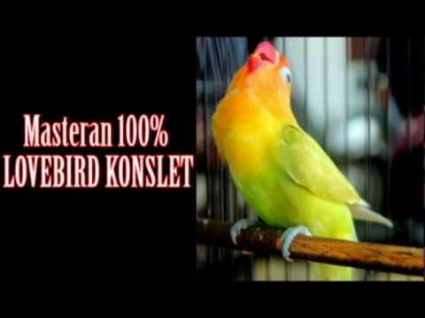 Ini Dia Masteran Lovebird Konslet Ngekek Panjang Siap Kontes Tanpa Jeda Paling Joss 2017