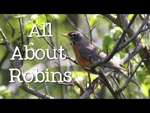All About Robins: Backyard Bird Series - FreeSchool
