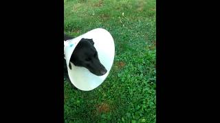Dog TPLO Surgery Post Op Day 1