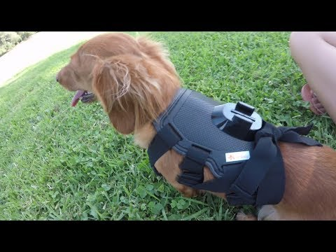 gopro hero 5 black dog harness. dog attacks RC plane. sport cub s crashing