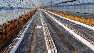 고추다수확  . 고추밭 만들기.고추 양액재배. 고추재배