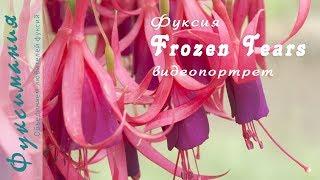 Фуксия Frozen Tears, видеопортрет