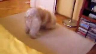 Sang-po The Tibetan Terrier