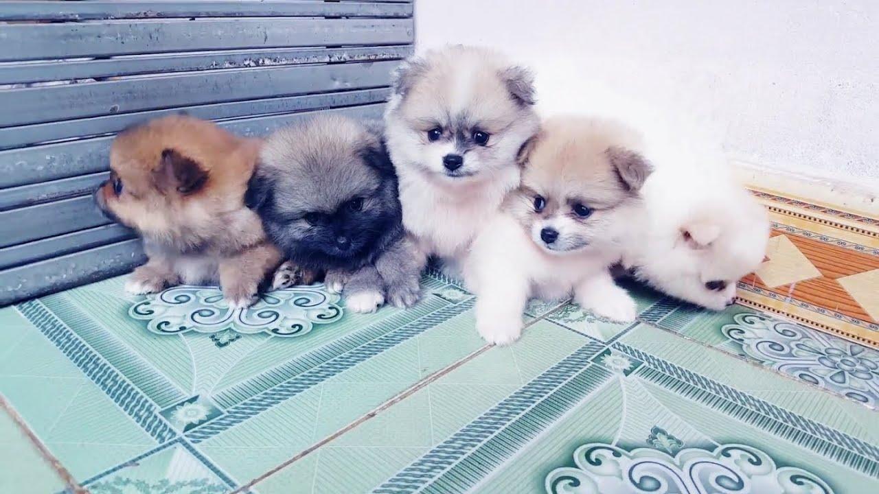 [11]➤ Santo Pet Family | Bán chó (POM) Phốc sóc Thái Lan giá rẻ nhất Việt Nam.