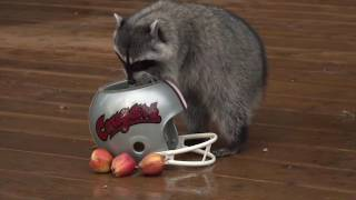 Lucy the Raccoon predicts the 2016 Apple Cup winner