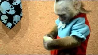 обезьяна капуцин и лук