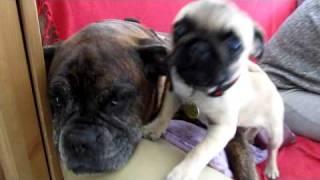 Boxer - Pug