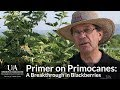 Primer On Primocanes: A Breakthrough In Blackberries