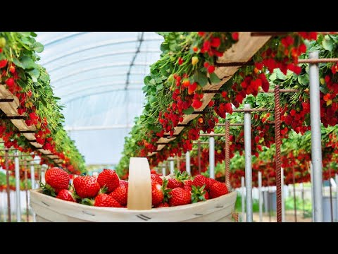 Excellent Hydroponic Strawberries Farming in Greenhouse and Satisfying Harvesting Process