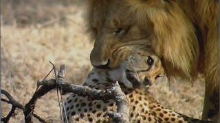 wild vs wild   lion brutally kills a cheetah