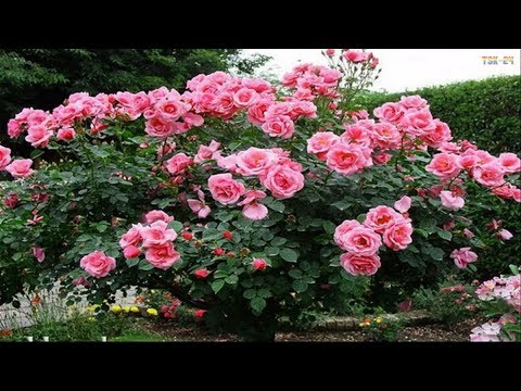 The Most Beautiful Roses In The World