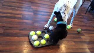 German Shorthaired Pointer Mind Game