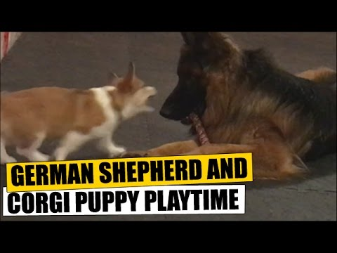 German Shepherd and Corgi Puppy Playtime
