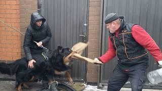Бурят-монгольская собака. 2е занятие по охране.