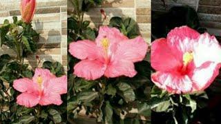 फरवरी में करें गुड़हल के पौधे में यह जरूरी काम, पाएं ज्यादा फूल और घना पौधाanvesha,s creativity