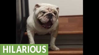 Bulldog argues with owner about going down the stairs