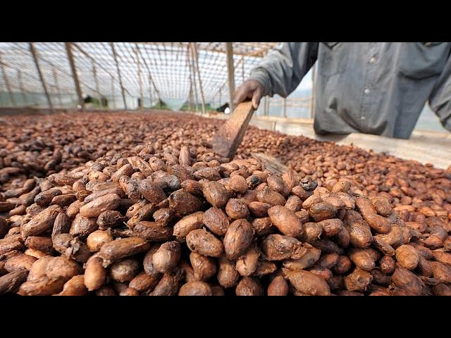 Côte d'Ivoire : 1 million de tonnes métriques de cacao déjà vendus