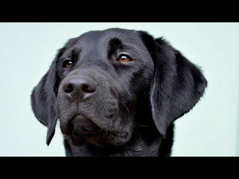 Molly The Black Labrador: 4 - 6 Months