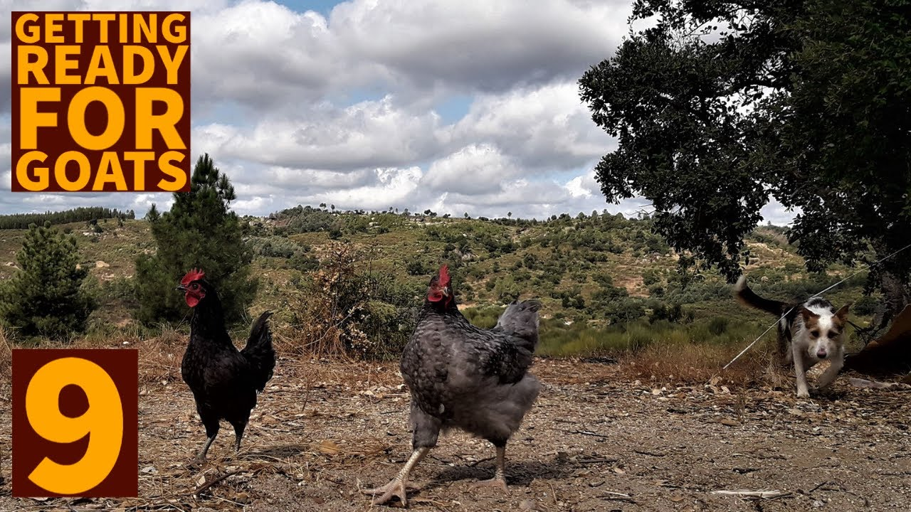 Getting ready for goats and being bullied by my cockerel- Off-grid in Portugal #9
