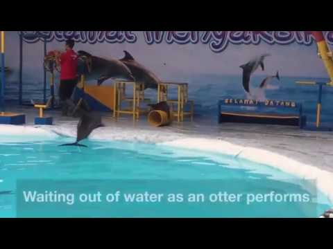 A dolphin suffers out of the water at an Indonesian circus