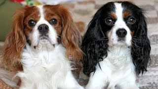 Adorable puppies ,Cavalier king Charles spaniel, Yorkshire terrier,...