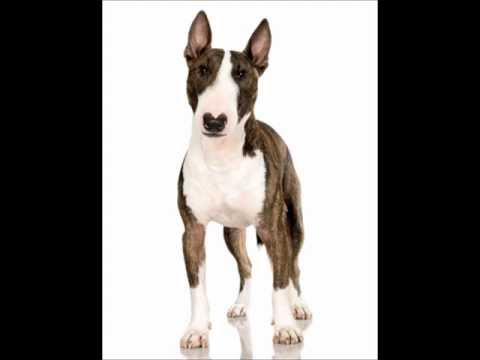 bull-terrier-~-puppies-for-sale,-by-pets4you.com