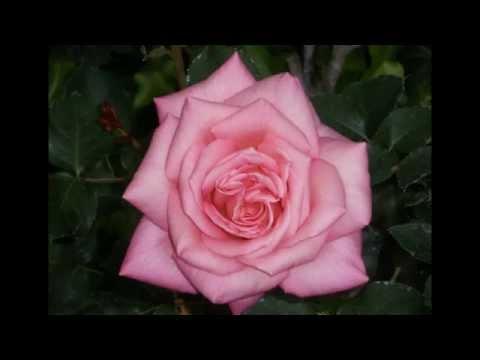 หยาดน้ำฝน หยดน้ำตา ภาพดอกไม้สวยๆ