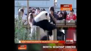 Anak panda dikuarantin, dalam keadaan sihat