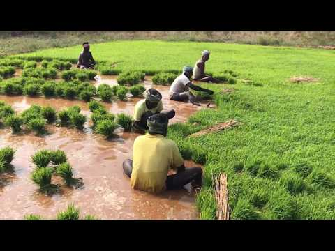 How Rice is Made : Step by Step Growing Rice Paddy Farming,